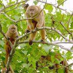 capuchinos-familia-bosque-cerro-blanco